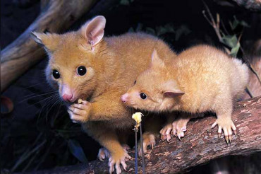 Australia's Rodent declared the world's 1st official climate change extinction