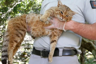 Cat-Fox, the newly discovered Mammal species in Corsica